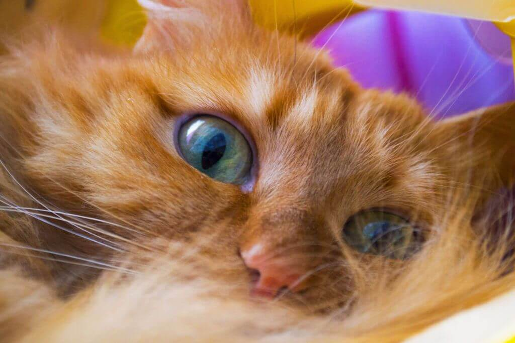 Как отстирать ковер от кошачьей мочи