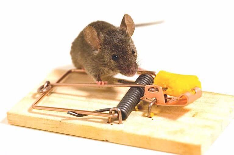 Как избавится от запаха мышей в доме