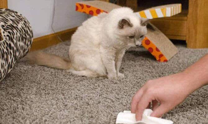 Как вывести пятна кошачьей мочи
